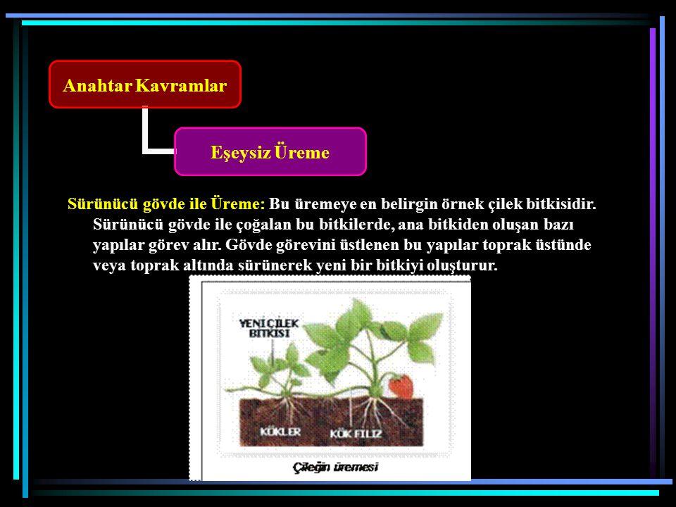 Sürünücü gövde ile Üreme: Bu üremeye en belirgin örnek çilek bitkisidir.
