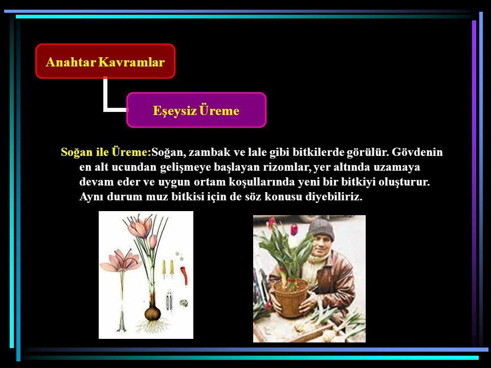 Soğan ile Üreme:Soğan, zambak ve lale gibi bitkilerde görülür