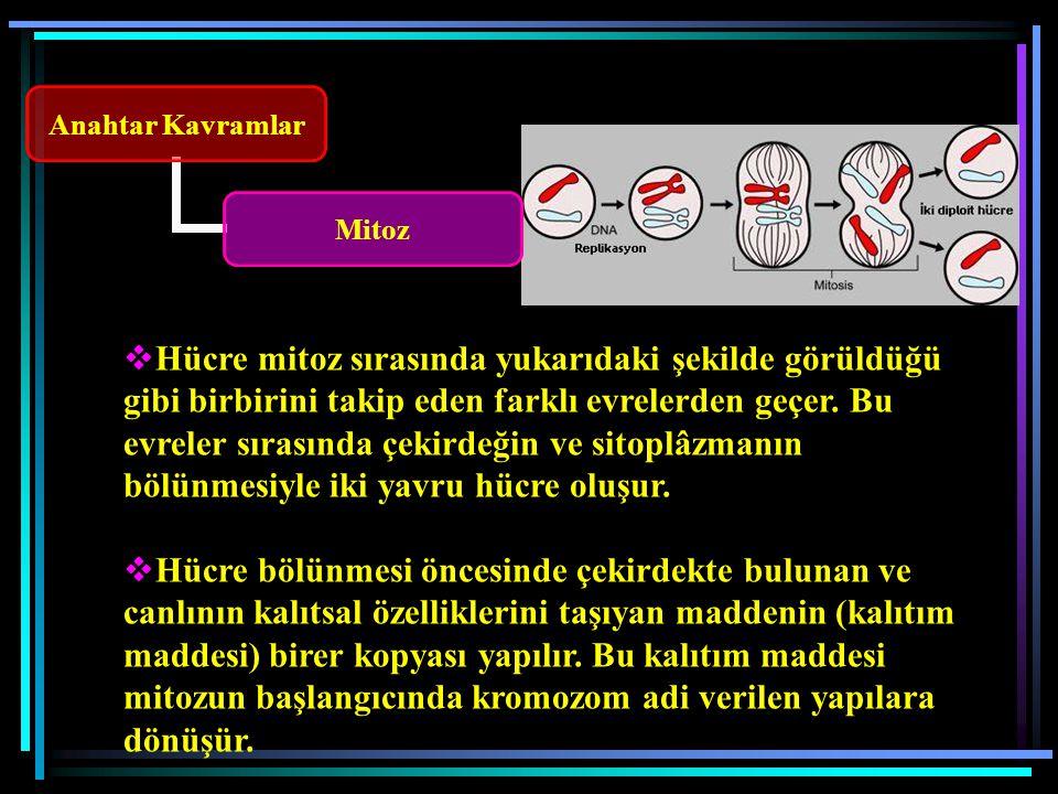 Hücre mitoz sırasında yukarıdaki şekilde görüldüğü gibi birbirini takip eden farklı evrelerden geçer. Bu evreler sırasında çekirdeğin ve sitoplâzmanın bölünmesiyle iki yavru hücre oluşur.