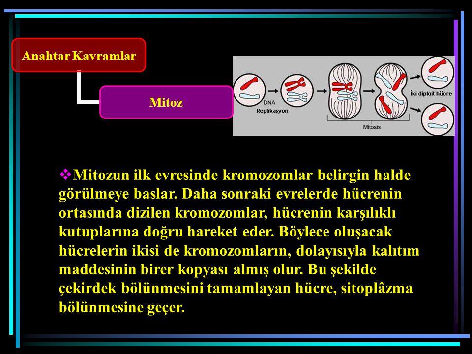 Mitozun ilk evresinde kromozomlar belirgin halde görülmeye baslar