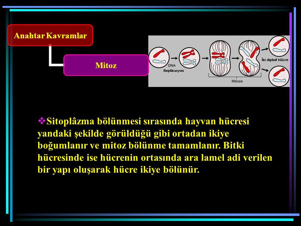 Sitoplâzma bölünmesi sırasında hayvan hücresi yandaki şekilde görüldüğü gibi ortadan ikiye boğumlanır ve mitoz bölünme tamamlanır.