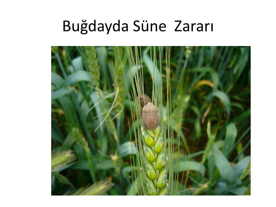 Buğdayda Süne Zararı