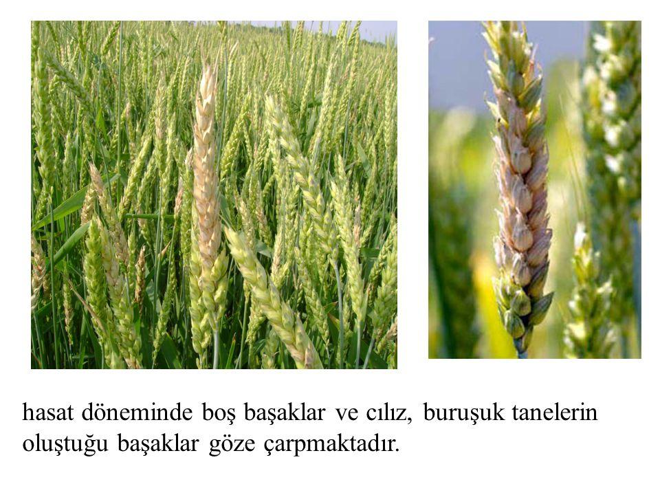 hasat döneminde boş başaklar ve cılız, buruşuk tanelerin oluştuğu başaklar göze çarpmaktadır.