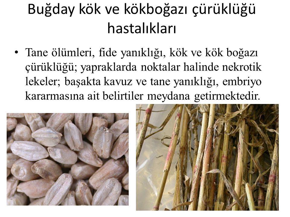 Buğday kök ve kökboğazı çürüklüğü hastalıkları