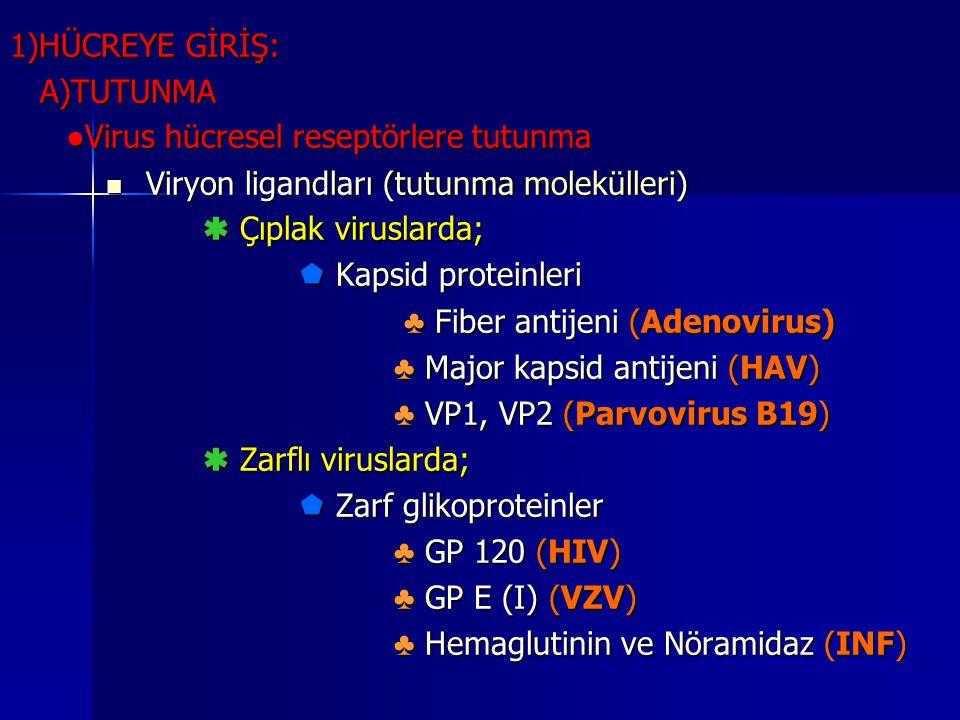 1)HÜCREYE GİRİŞ: A)TUTUNMA. ●Virus hücresel reseptörlere tutunma. Viryon ligandları (tutunma molekülleri)