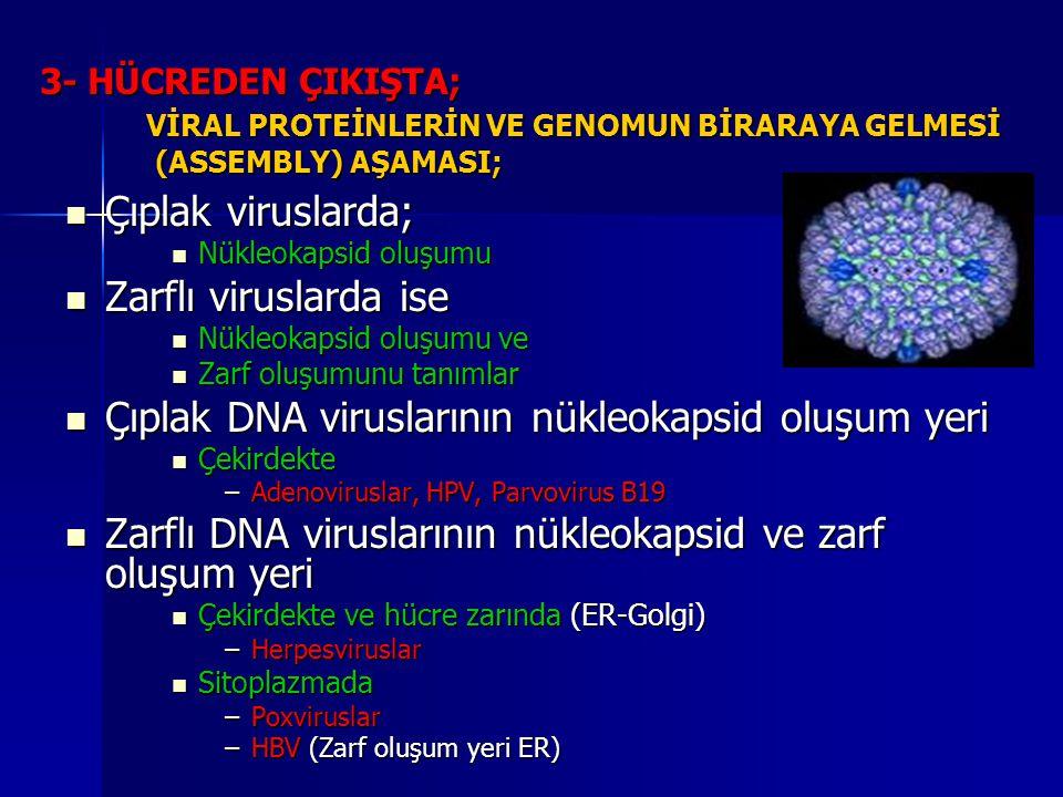 Çıplak DNA viruslarının nükleokapsid oluşum yeri