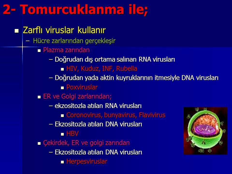 2- Tomurcuklanma ile; Zarflı viruslar kullanır