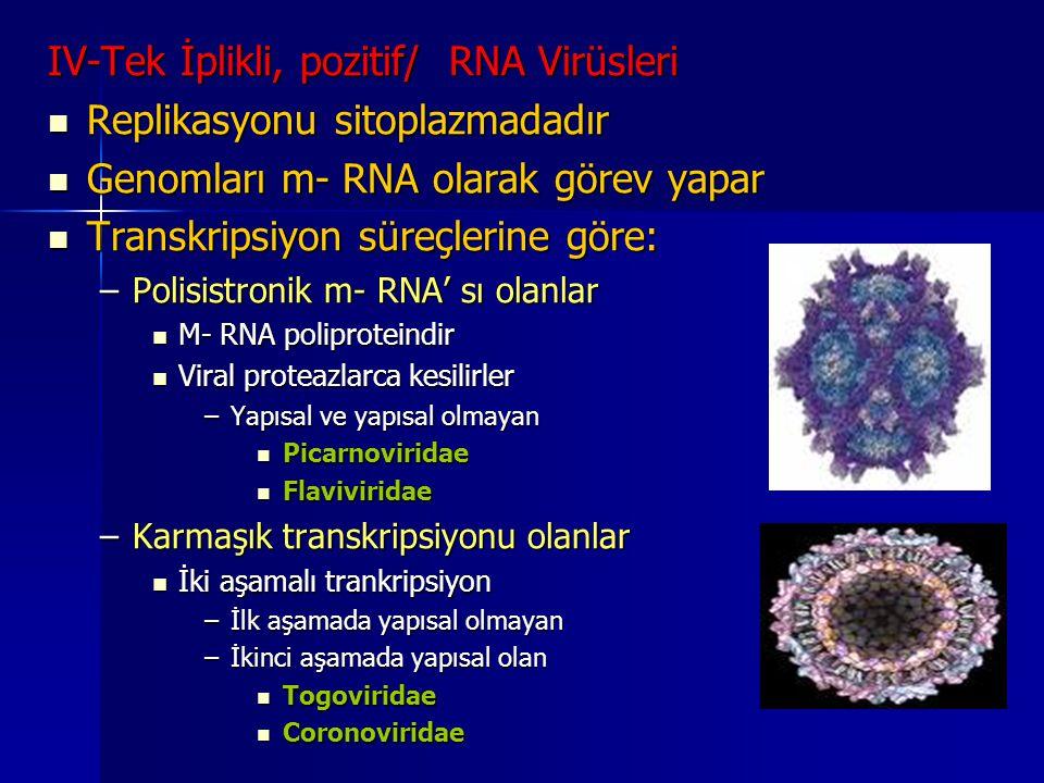 IV-Tek İplikli, pozitif/ RNA Virüsleri Replikasyonu sitoplazmadadır