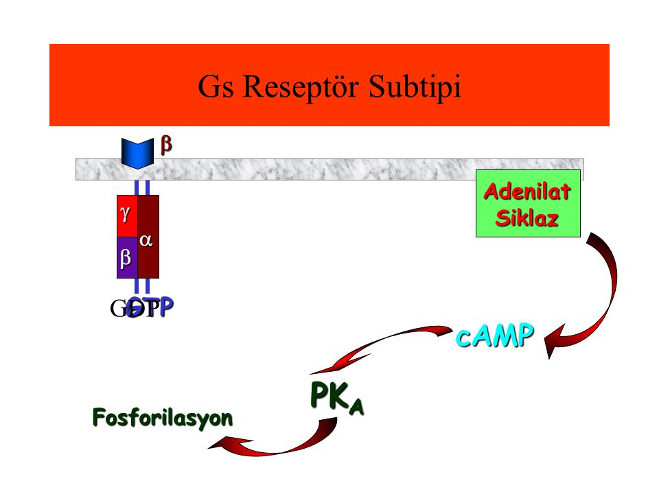 Gs Reseptör Subtipi PKA cAMP GTP GDP  Adenilat Siklaz    
