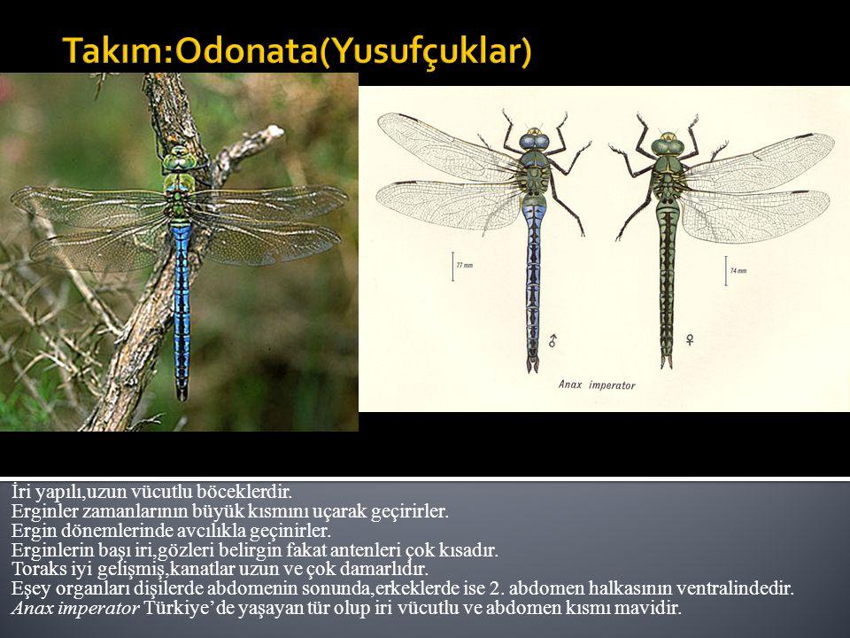 Takım:Odonata(Yusufçuklar)