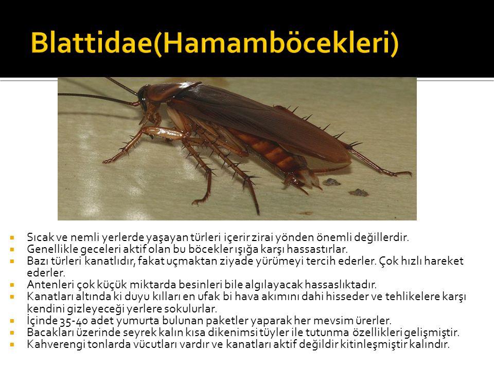 Blattidae(Hamamböcekleri)