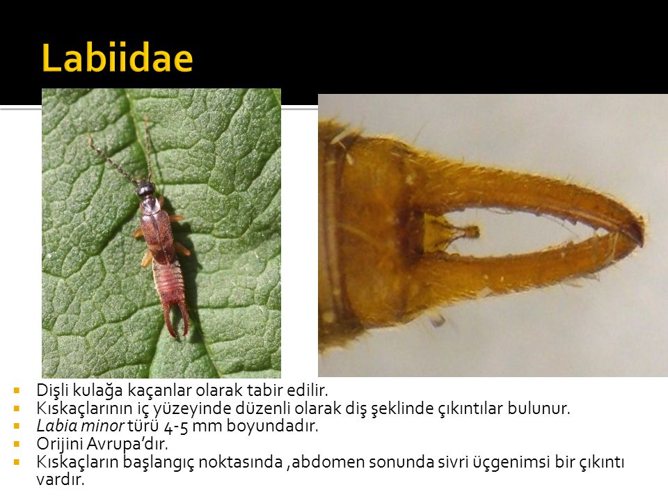 Labiidae Dişli kulağa kaçanlar olarak tabir edilir.