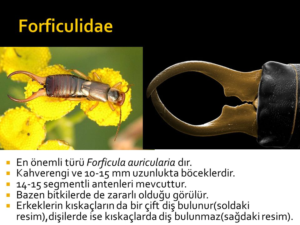 Forficulidae En önemli türü Forficula auricularia dır.