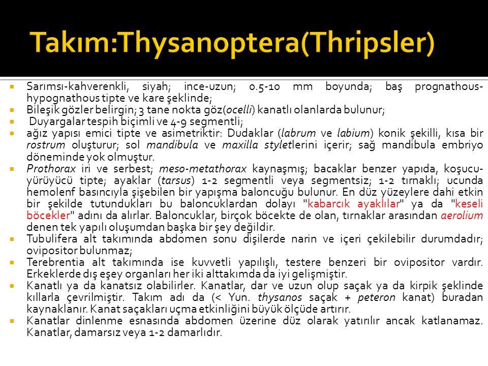 Takım:Thysanoptera(Thripsler)