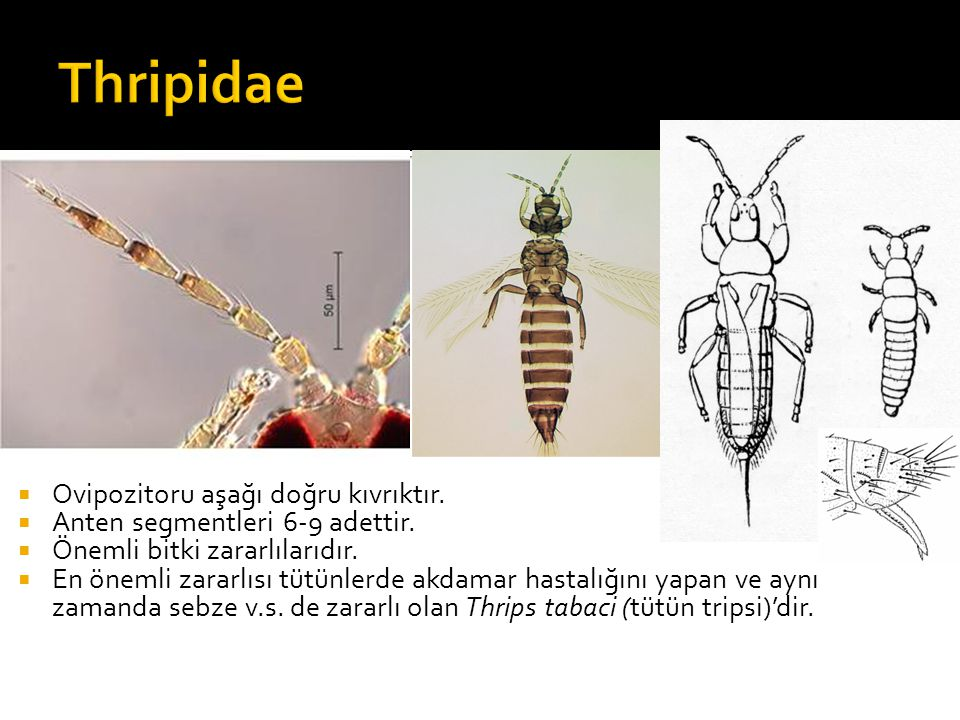 Thripidae Ovipozitoru aşağı doğru kıvrıktır.