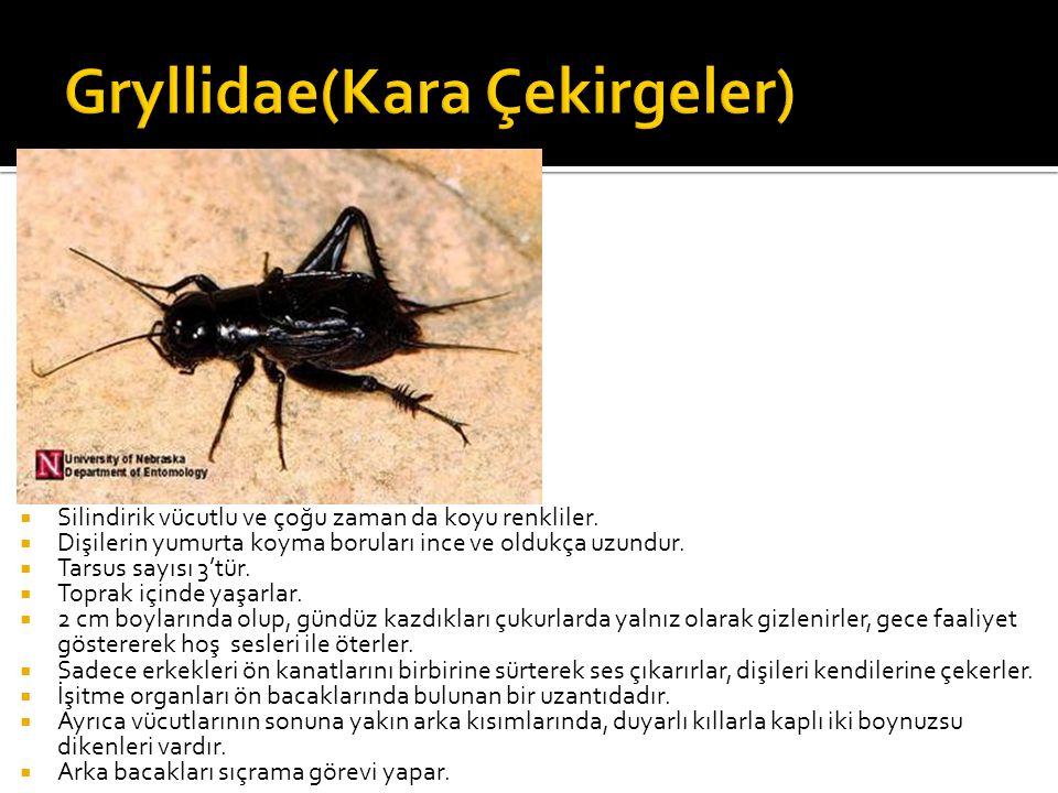 Gryllidae(Kara Çekirgeler)