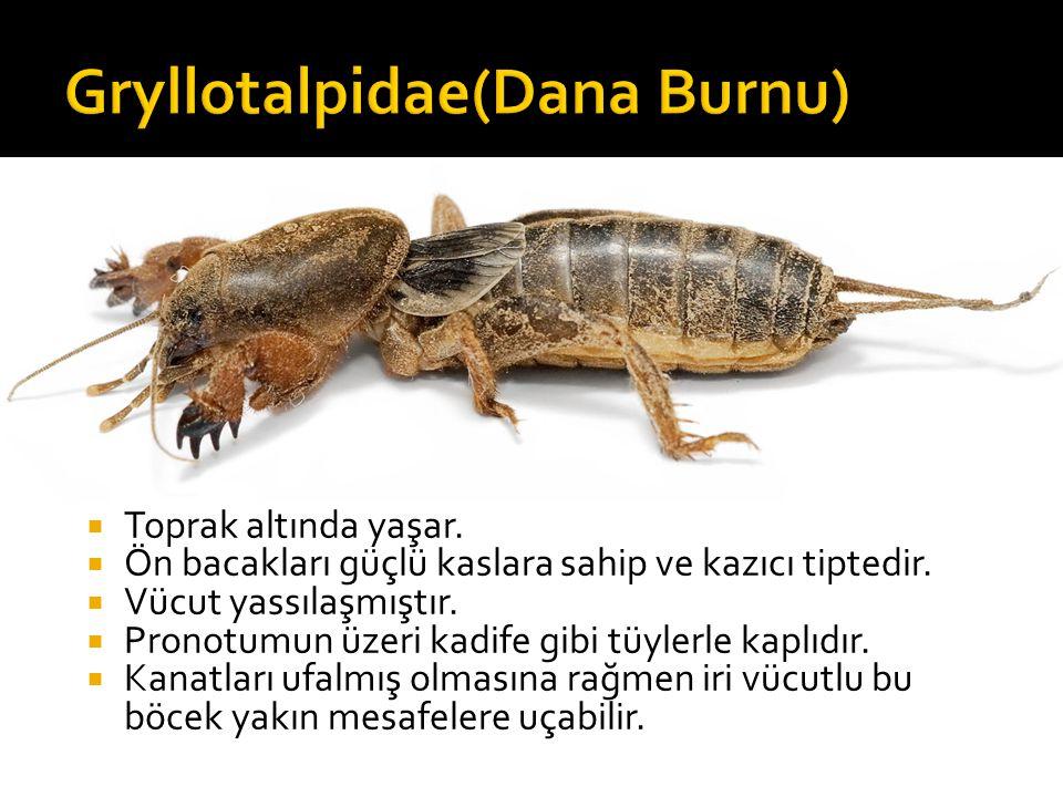 Gryllotalpidae(Dana Burnu)
