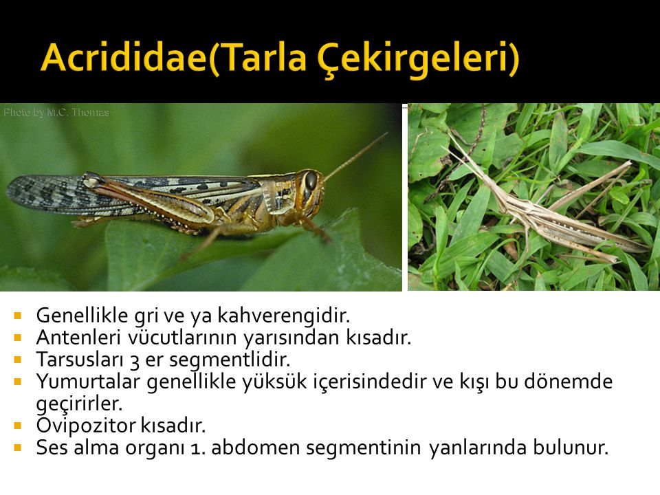 Acrididae(Tarla Çekirgeleri)