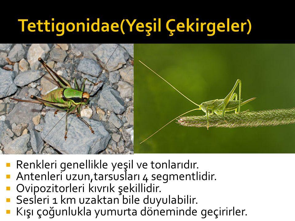Tettigonidae(Yeşil Çekirgeler)