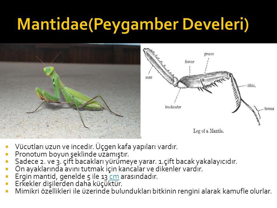 Mantidae(Peygamber Develeri)