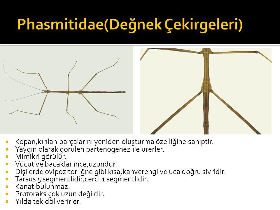 Phasmitidae(Değnek Çekirgeleri)