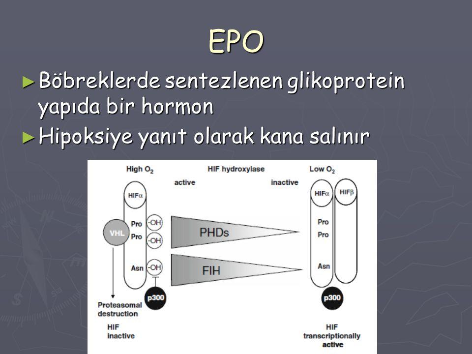 EPO Böbreklerde sentezlenen glikoprotein yapıda bir hormon