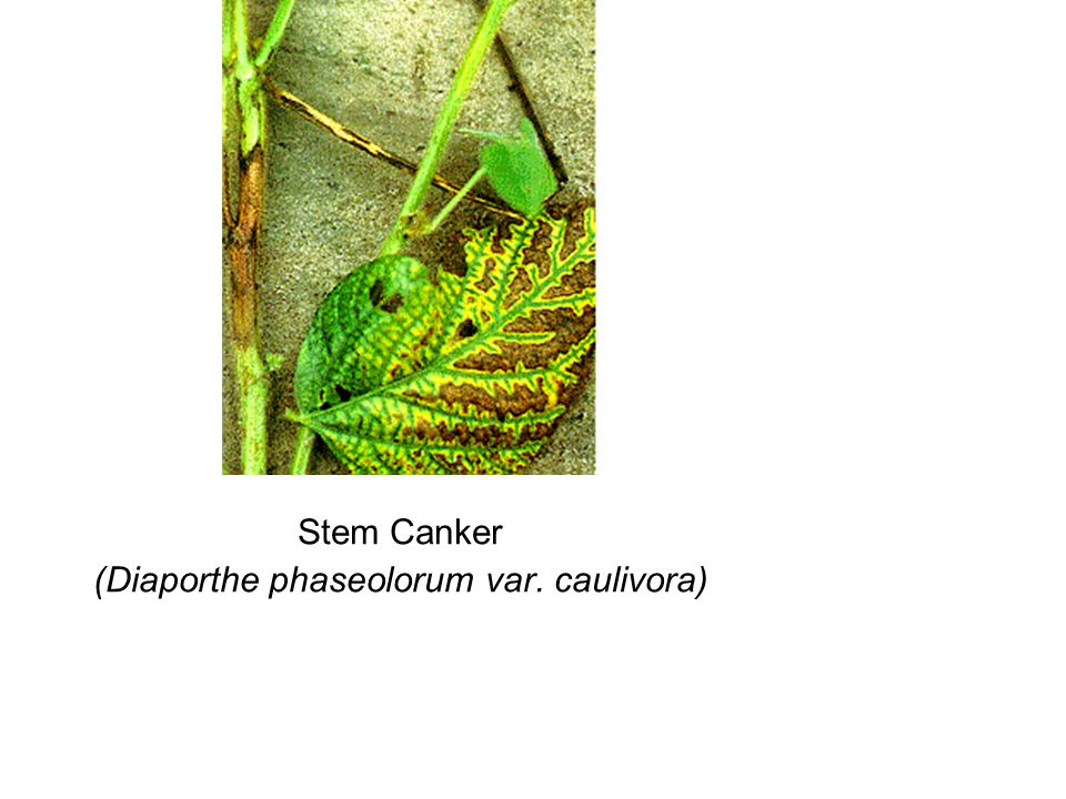 Stem Canker (Diaporthe phaseolorum var. caulivora)