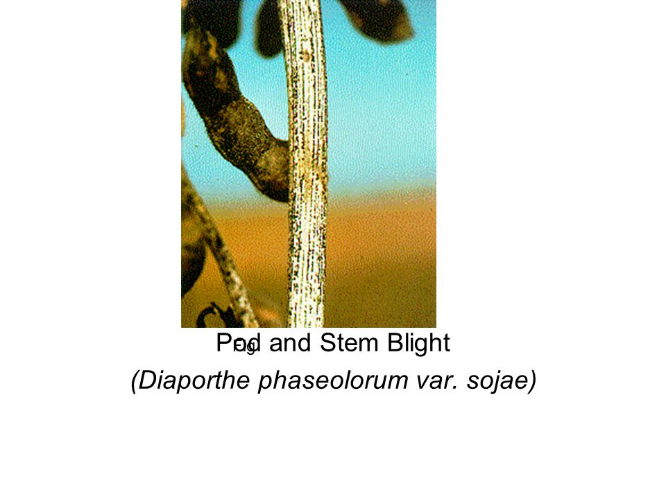 Pod and Stem Blight (Diaporthe phaseolorum var. sojae)