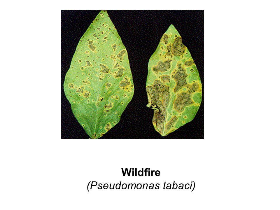 Wildfire (Pseudomonas tabaci)
