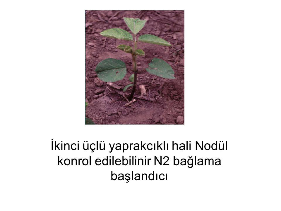 İkinci üçlü yaprakcıklı hali Nodül konrol edilebilinir N2 bağlama başlandıcı