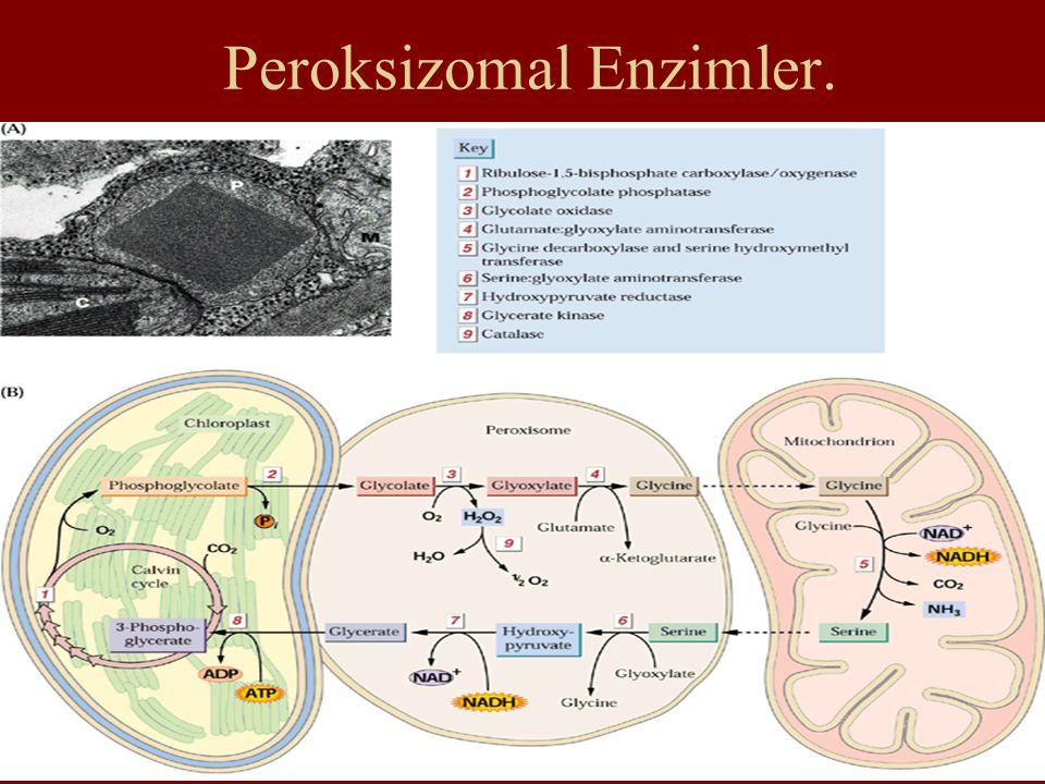 Peroksizomal Enzimler.