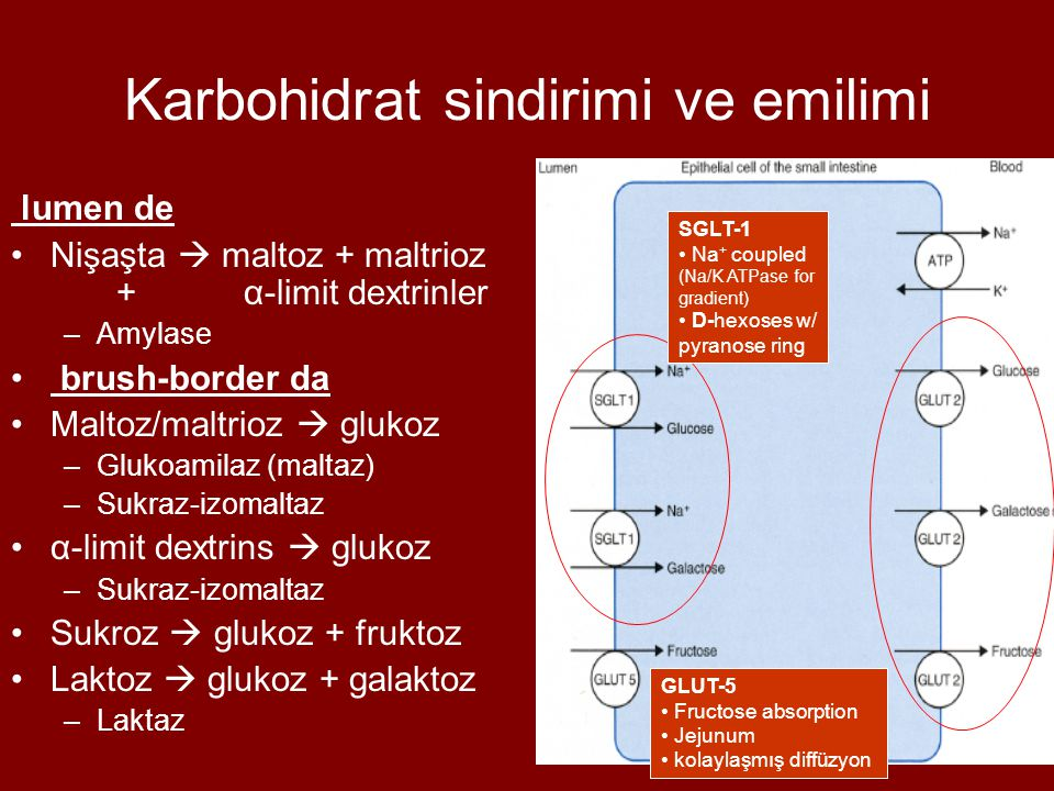 Karbohidrat sindirimi ve emilimi
