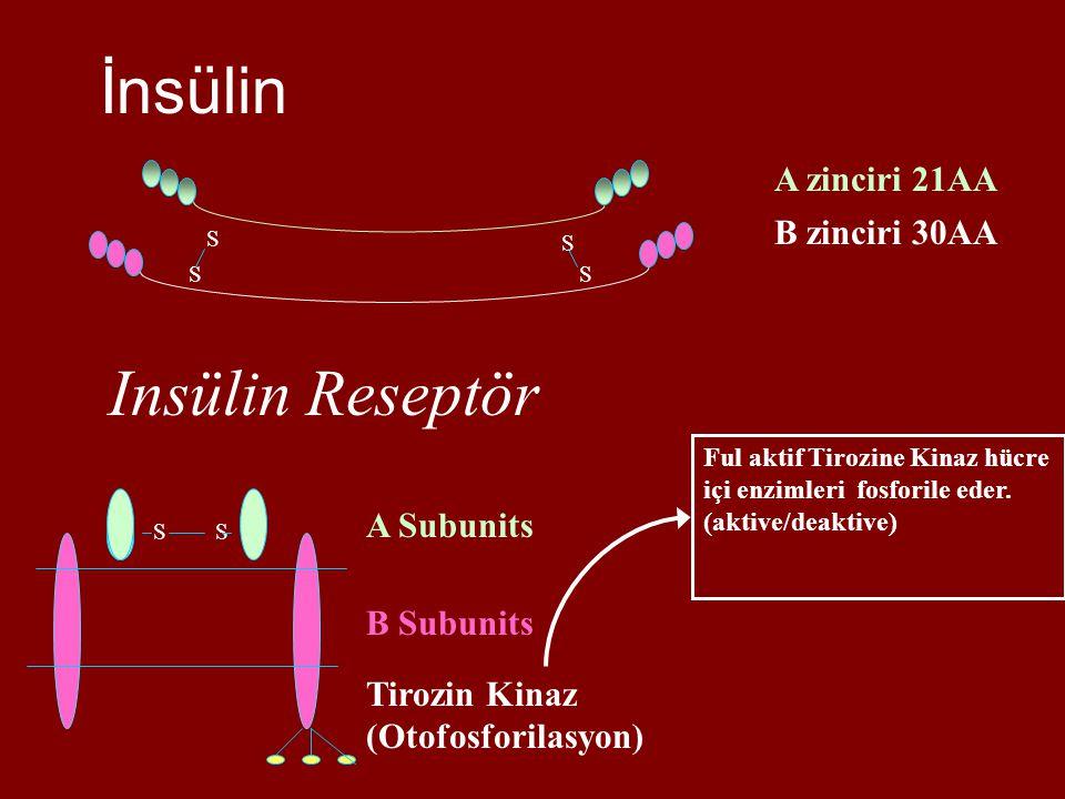 İnsülin Insülin Reseptör A zinciri 21AA B zinciri 30AA A Subunits