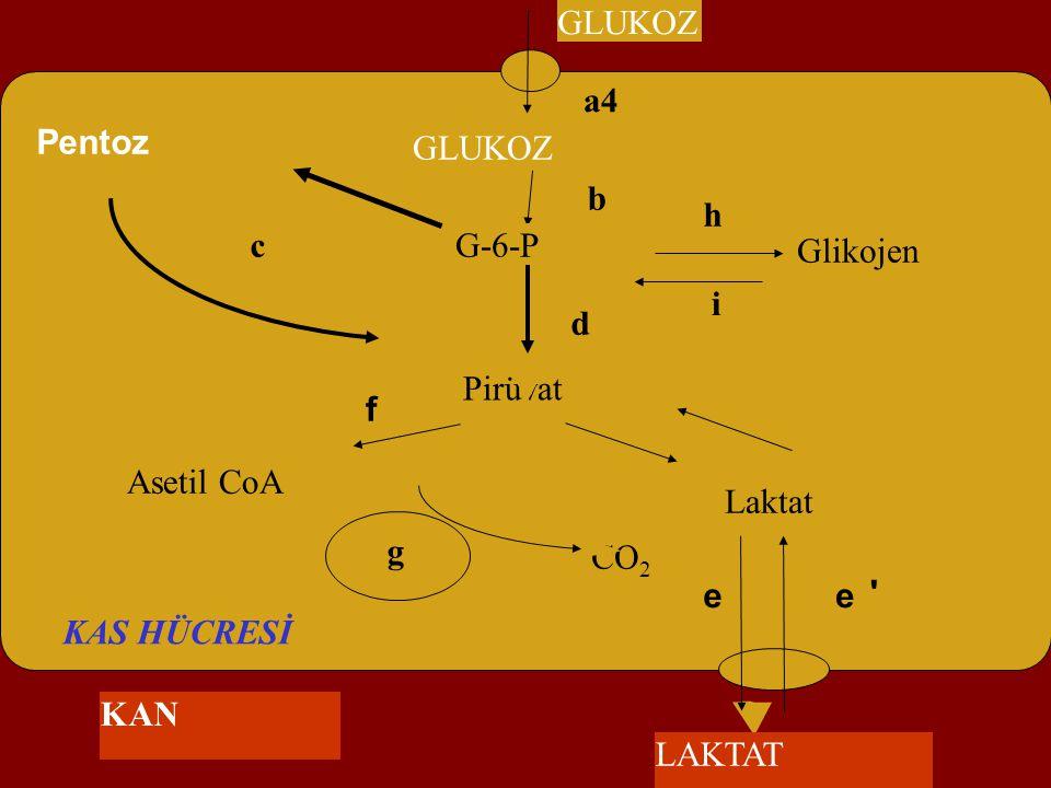 Asetil CoA CO2. f. GLUKOZ. Pirüvat. Pentoz. a4. b. c. d. g. KAS HÜCRESİ. Glikojen. G-6-P.