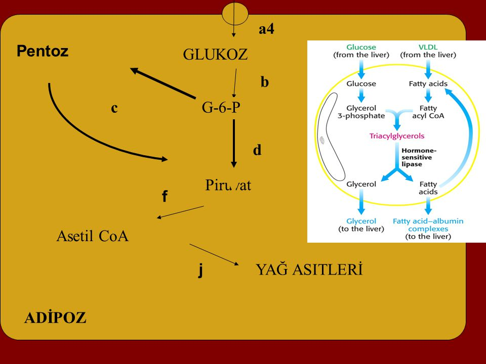 Asetil CoA f GLUKOZ Piruvat Pentoz a4 b c d ADİPOZ G-6-P YAĞ ASITLERİ j