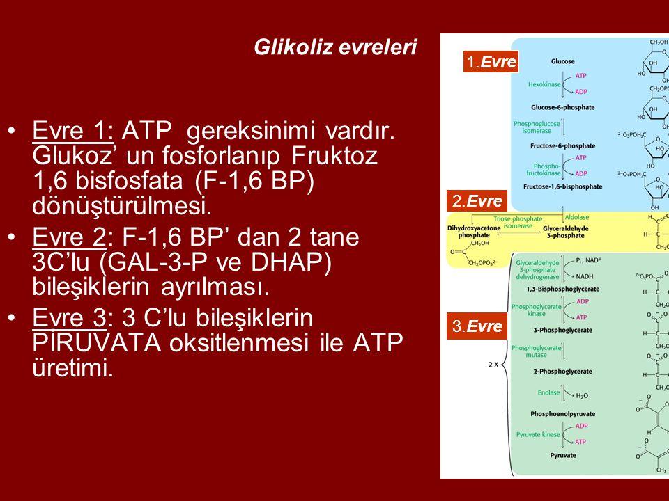 Evre 3: 3 C'lu bileşiklerin PİRUVATA oksitlenmesi ile ATP üretimi.