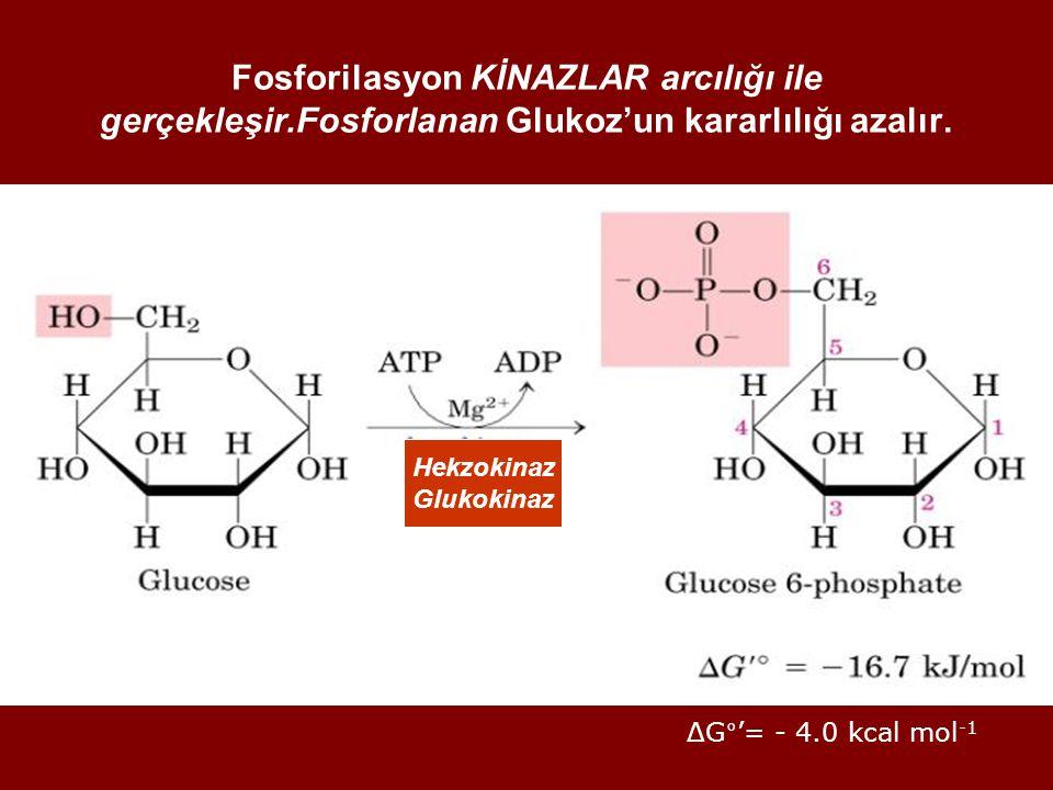 Fosforilasyon KİNAZLAR arcılığı ile gerçekleşir