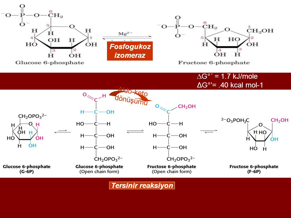 Fosfogukoz izomeraz G°´ = 1.7 kJ/mole ΔG°'= .40 kcal mol-1 Aldo-keto dönüşümü Tersinir reaksiyon