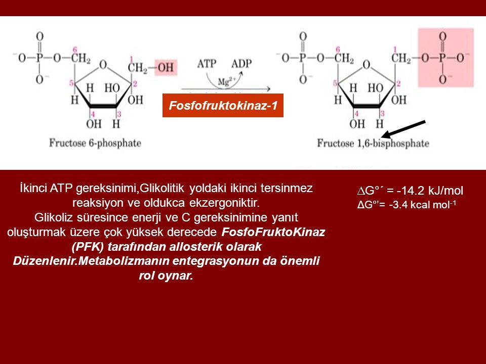 Fosfofruktokinaz-1 İkinci ATP gereksinimi,Glikolitik yoldaki ikinci tersinmez reaksiyon ve oldukca ekzergoniktir.