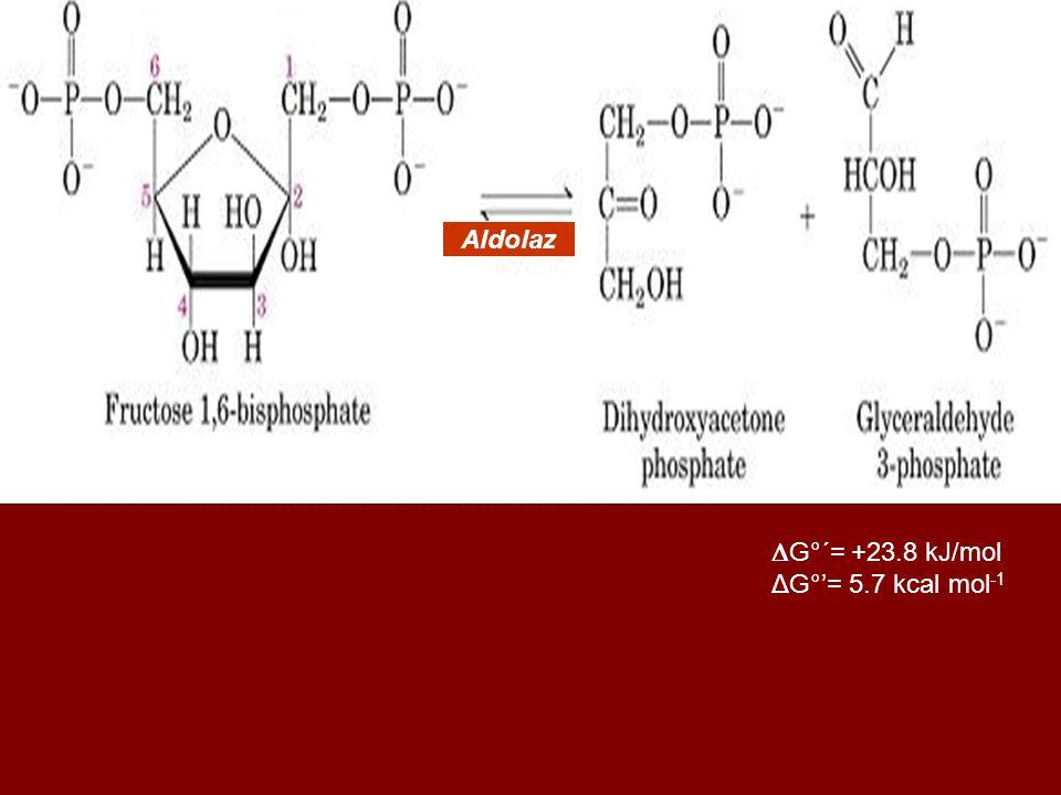 Aldolaz G°´= +23.8 kJ/mol ΔG°'= 5.7 kcal mol-1