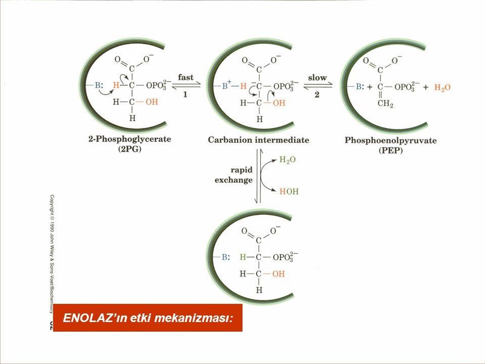 ENOLAZ'ın etki mekanizması: