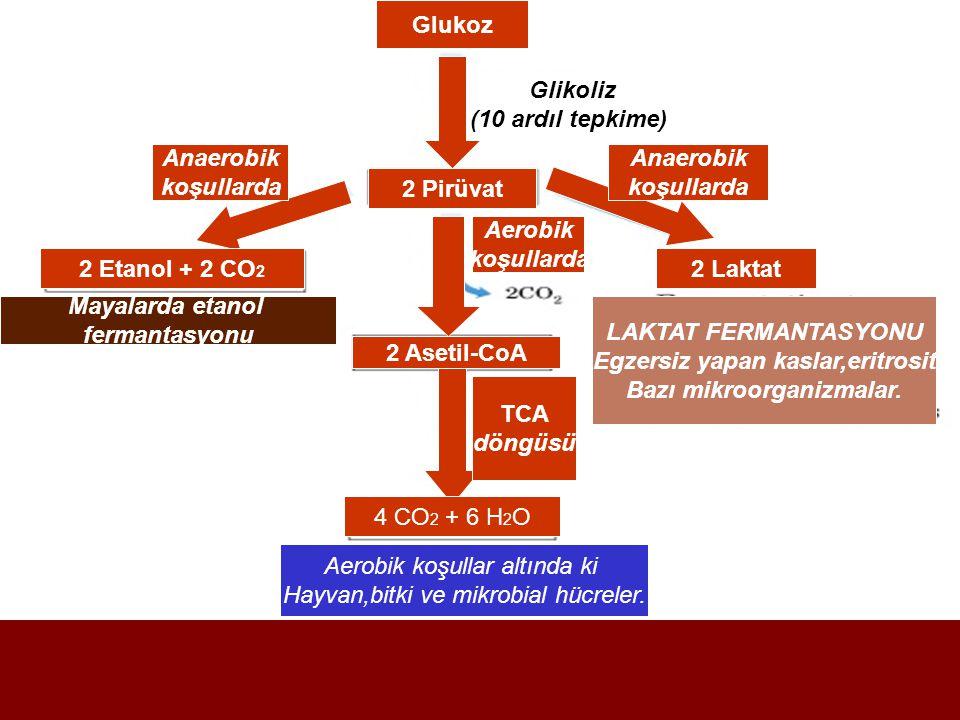Egzersiz yapan kaslar,eritrosit Bazı mikroorganizmalar.
