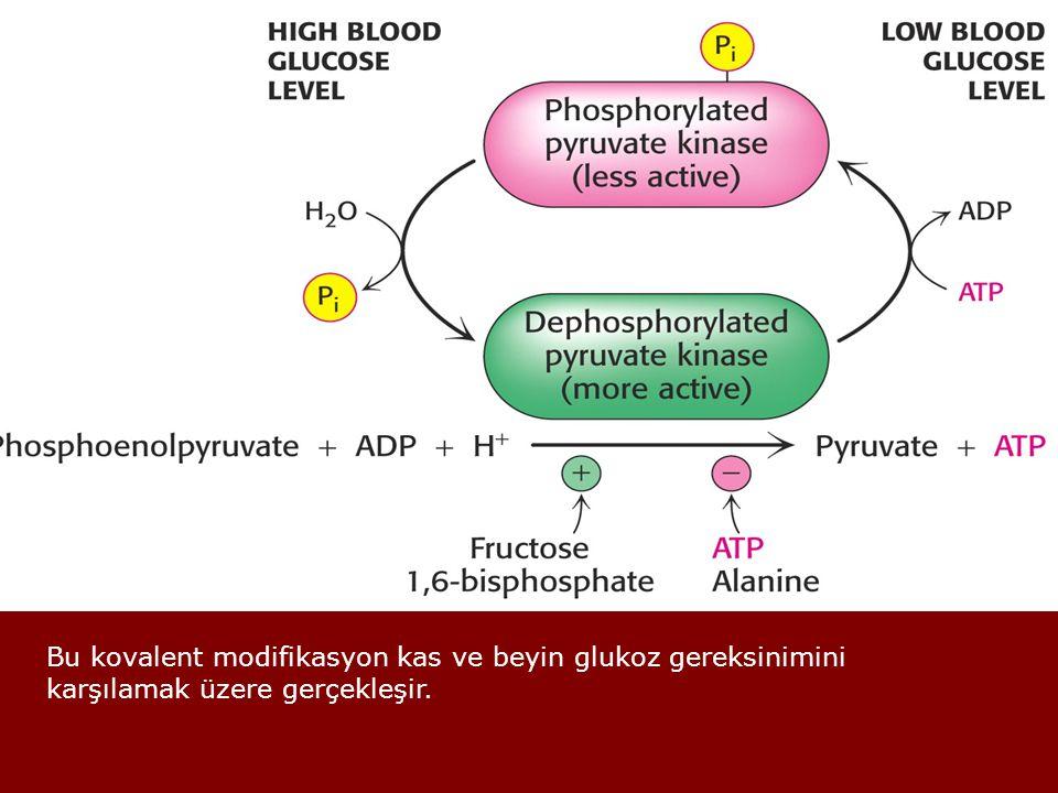 Bu kovalent modifikasyon kas ve beyin glukoz gereksinimini karşılamak üzere gerçekleşir.