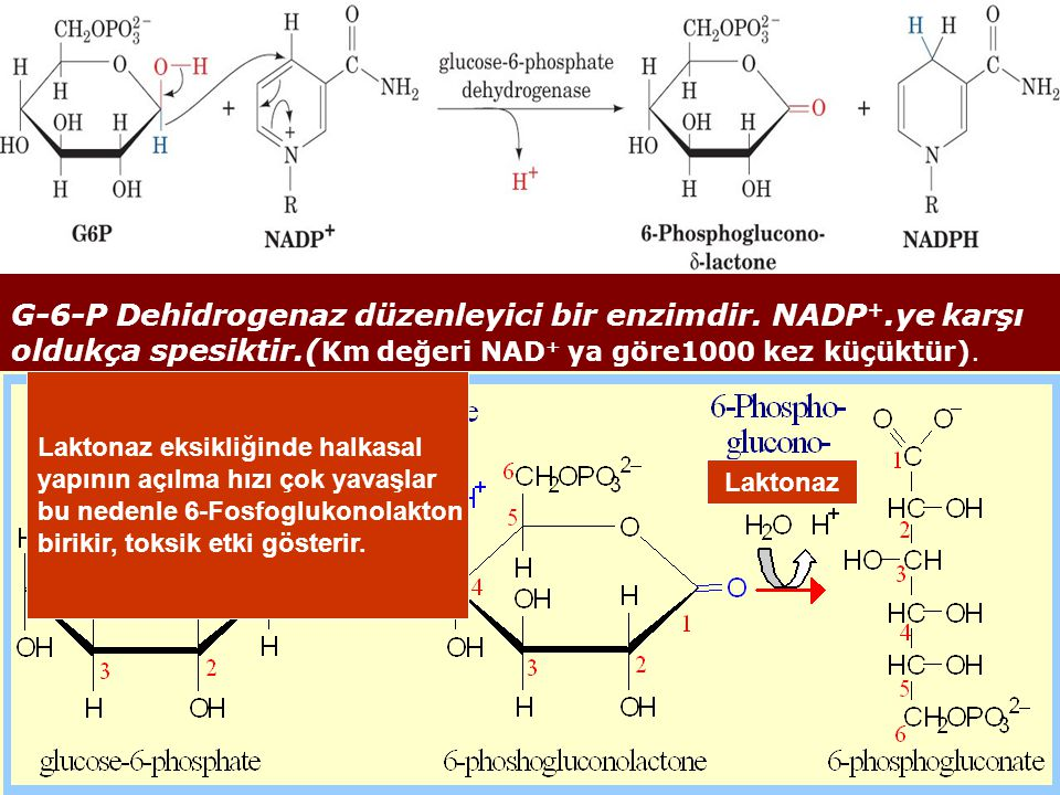 G-6-P Dehidrogenaz düzenleyici bir enzimdir. NADP+