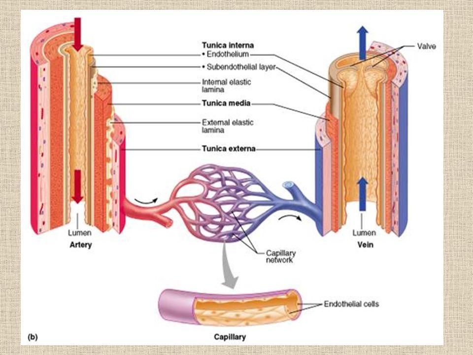 http://academic.pgcc.edu/~aimholtz/AandP/206_ONLINE/BloodFlow/bloodflow1.html