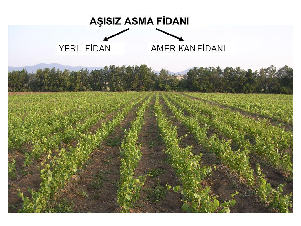 AŞISIZ ASMA FİDANI YERLİ FİDAN AMERİKAN FİDANI