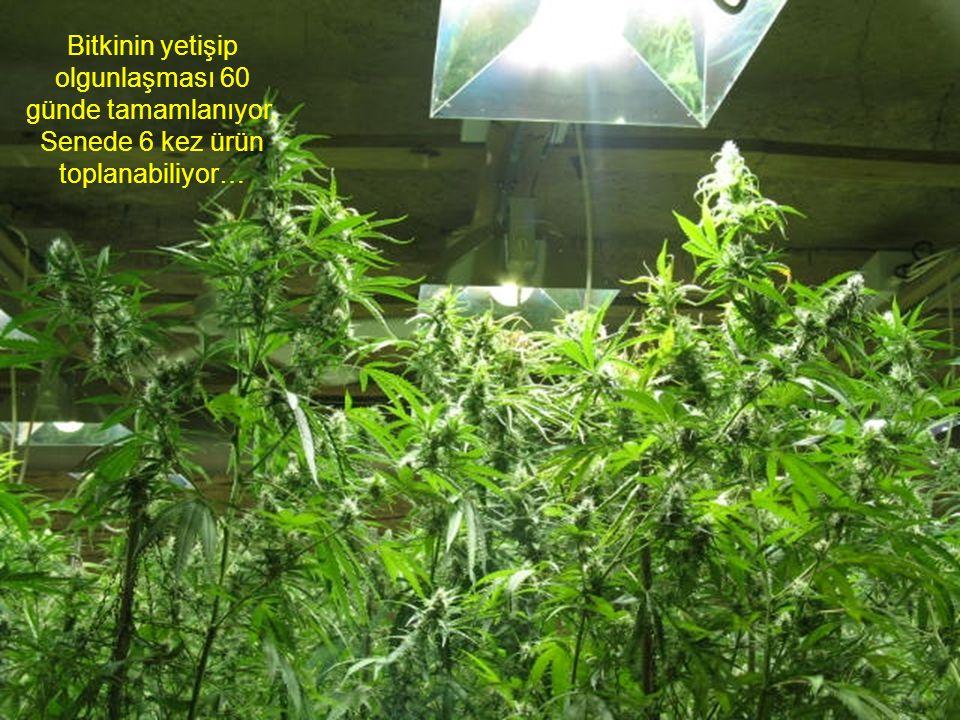 Bitkinin yetişip olgunlaşması 60 günde tamamlanıyor