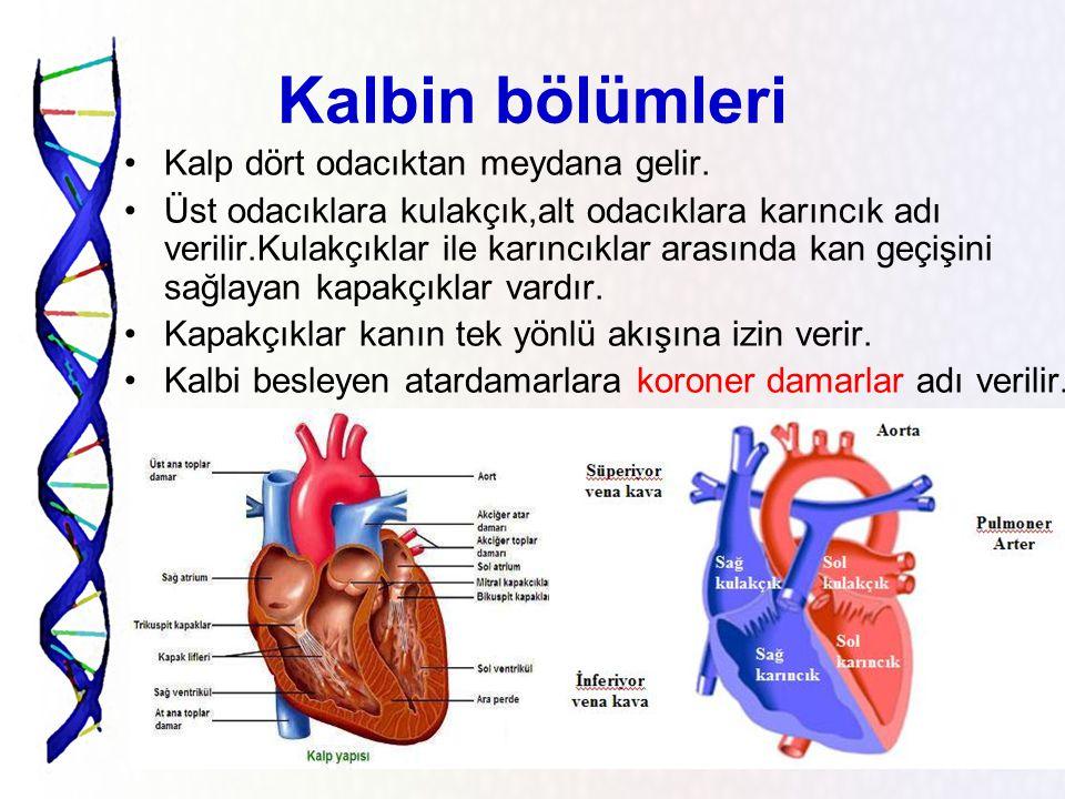 Kalbin bölümleri Kalp dört odacıktan meydana gelir.