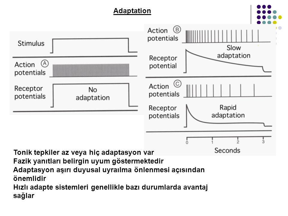 Adaptation Tonik tepkiler az veya hiç adaptasyon var. Fazik yanıtları belirgin uyum göstermektedir.