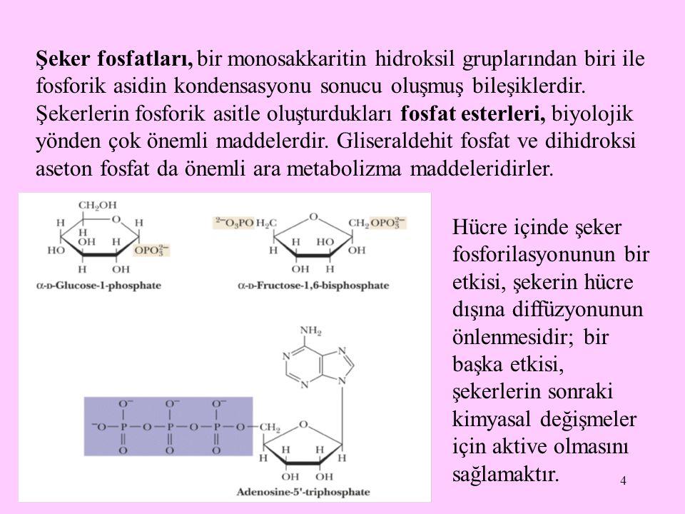 Şeker fosfatları, bir monosakkaritin hidroksil gruplarından biri ile fosforik asidin kondensasyonu sonucu oluşmuş bileşiklerdir. Şekerlerin fosforik asitle oluşturdukları fosfat esterleri, biyolojik yönden çok önemli maddelerdir. Gliseraldehit fosfat ve dihidroksi aseton fosfat da önemli ara metabolizma maddeleridirler.